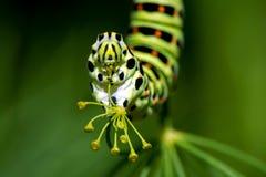 Caterpillar stary świat Swallowtail, cl (Papilio machaon) Zdjęcia Royalty Free
