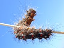 Caterpillar on stem Royalty Free Stock Images