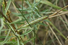 Caterpillar on straw Stock Photography