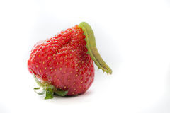 Caterpillar on strawberry Stock Photo