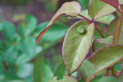 Caterpillar su una foglia Immagine Stock