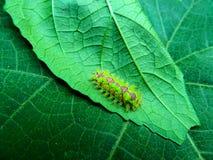Caterpillar sulla foglia fotografie stock libere da diritti