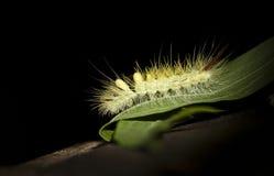 Caterpillar sulla foglia Fotografia Stock