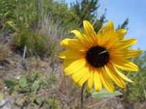 Caterpillar on Sunflower on Sandy Hook Beach. Stock Image