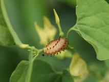 Caterpillar sur la fleur d'Aristolochia photographie stock libre de droits