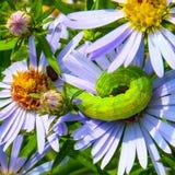 Caterpillar sur le Wildflower pourpre Image libre de droits