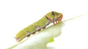 Caterpillar sur un citron poussent des feuilles clips vidéos