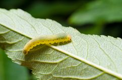 Caterpillar sur une feuille image libre de droits
