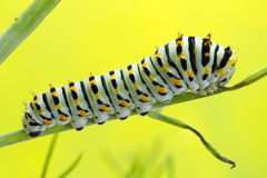 Caterpillar of the Swallow Tail Butterfly. Stock Photos