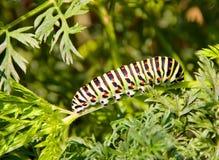 Caterpillar swallowtail Royalty Free Stock Photos