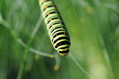 Caterpillar of a swallowtail Royalty Free Stock Photo