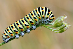 Caterpillar of swallowtail Stock Photography