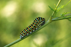 Caterpillar Swallowtail Stock Foto