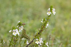 Caterpillar of a swallowtail butterfly on a eyebright plant. Beautiful caterpillar of a swallowtail butterfly on a eyebright plant stock photography