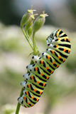 Caterpillar of swallowtail on grass Stock Photos