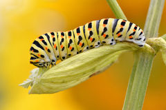 Caterpillar of swallowtail Royalty Free Stock Photography