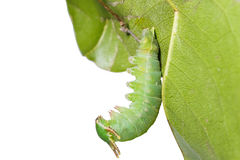 Caterpillar of Tawny Rajah butterfly hanging on leaf Royalty Free Stock Image