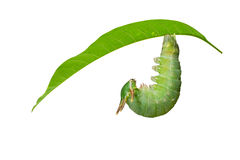 Caterpillar of Tawny Rajah butterfly before molting to pupa Stock Photo