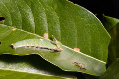 Caterpillar of Tawny Rajah butterfly with old mask Stock Photo