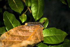 Caterpillar with tenticles. A caterpillar sits on a leaf in the middle of the jungle in the southern zone of Costa Rica Royalty Free Stock Photos
