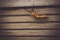 Caterpillar-Tierinsektenwanze in der Natur gehend auf alte hölzerne Wand des Gartenhintergrundes lizenzfreie stockfotos