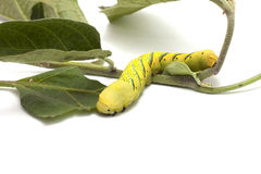 Caterpillar till fjärilen Arkivbilder