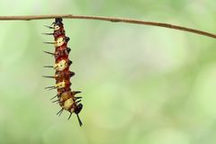 Caterpillar to chrysalis of Leopard lacewing butterfly Cethosi. A cyane euanthes hanging on twig with green backgrund , preparing to pupa royalty free stock photography