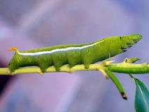 Caterpillar of the tropical butterfly, Vietnam Stock Photos
