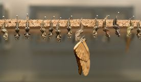 Caterpillar turning into beautiful butterfly. A great methamorphosis stock images
