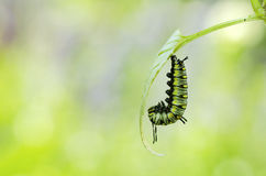 Before caterpillar turning to pupa. Moment before caterpillar turning to pupa Royalty Free Stock Photography