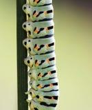 Caterpillar. 2014 Tuscany Maremma Italy Macro Stock Image