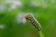 Caterpillar on twig Royalty Free Stock Image
