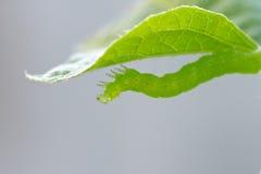 Caterpillar under leaf Stock Image