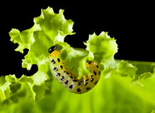 Caterpillar under lettuce leaf Royalty Free Stock Images