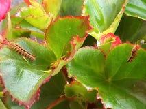 Caterpillar uppehälle på en begoniaväxt arkivfoto