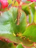 Caterpillar uppehälle på en begoniaväxt Royaltyfri Bild