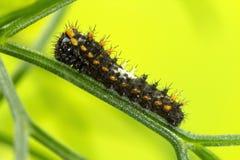 Caterpillar van de Swallow Staartvlinder Stock Afbeeldingen