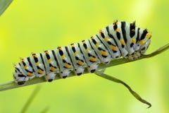 Caterpillar van de Swallow Staartvlinder Royalty-vrije Stock Afbeelding