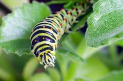 Caterpillar van Machaon die op groene bladeren, close-up kruipen stock foto