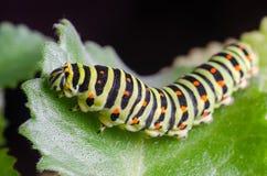 Caterpillar van Machaon die op groene bladeren, close-up kruipen royalty-vrije stock afbeelding