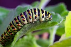 Caterpillar van Machaon die op groene bladeren, close-up kruipen stock foto's