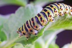 Caterpillar van Machaon die op groene bladeren, close-up kruipen stock afbeeldingen