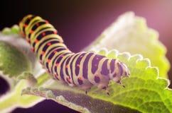 Caterpillar van Machaon die op groene bladeren, close-up kruipen royalty-vrije stock foto's