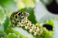 Caterpillar van Machaon die op groene bladeren, close-up kruipen royalty-vrije stock fotografie