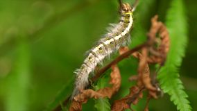 Caterpillar velu banque de vidéos
