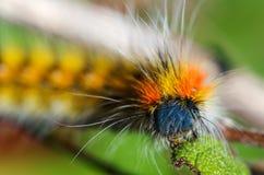Caterpillar velu et coloré - loti de Psilogaster Photos libres de droits