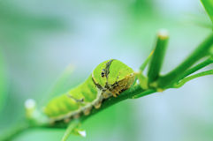 Caterpillar verde Fotografie Stock Libere da Diritti