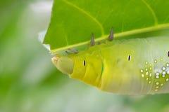 Caterpillar verde Fotografía de archivo libre de regalías