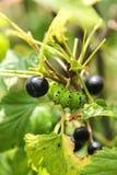 Caterpillar verde Imagens de Stock