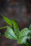 Caterpillar verde che mangia foglia Fotografia Stock Libera da Diritti